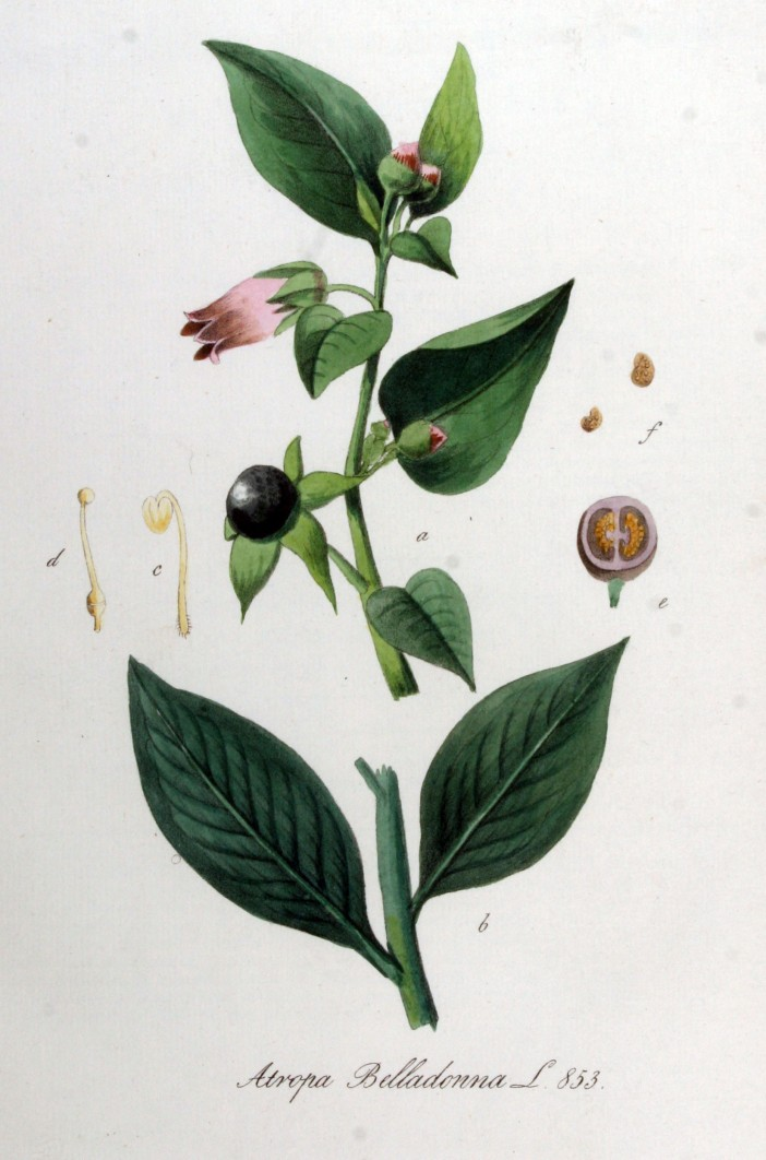 Atropa_belladonna_—_Flora_Batava_—_Volume_v11